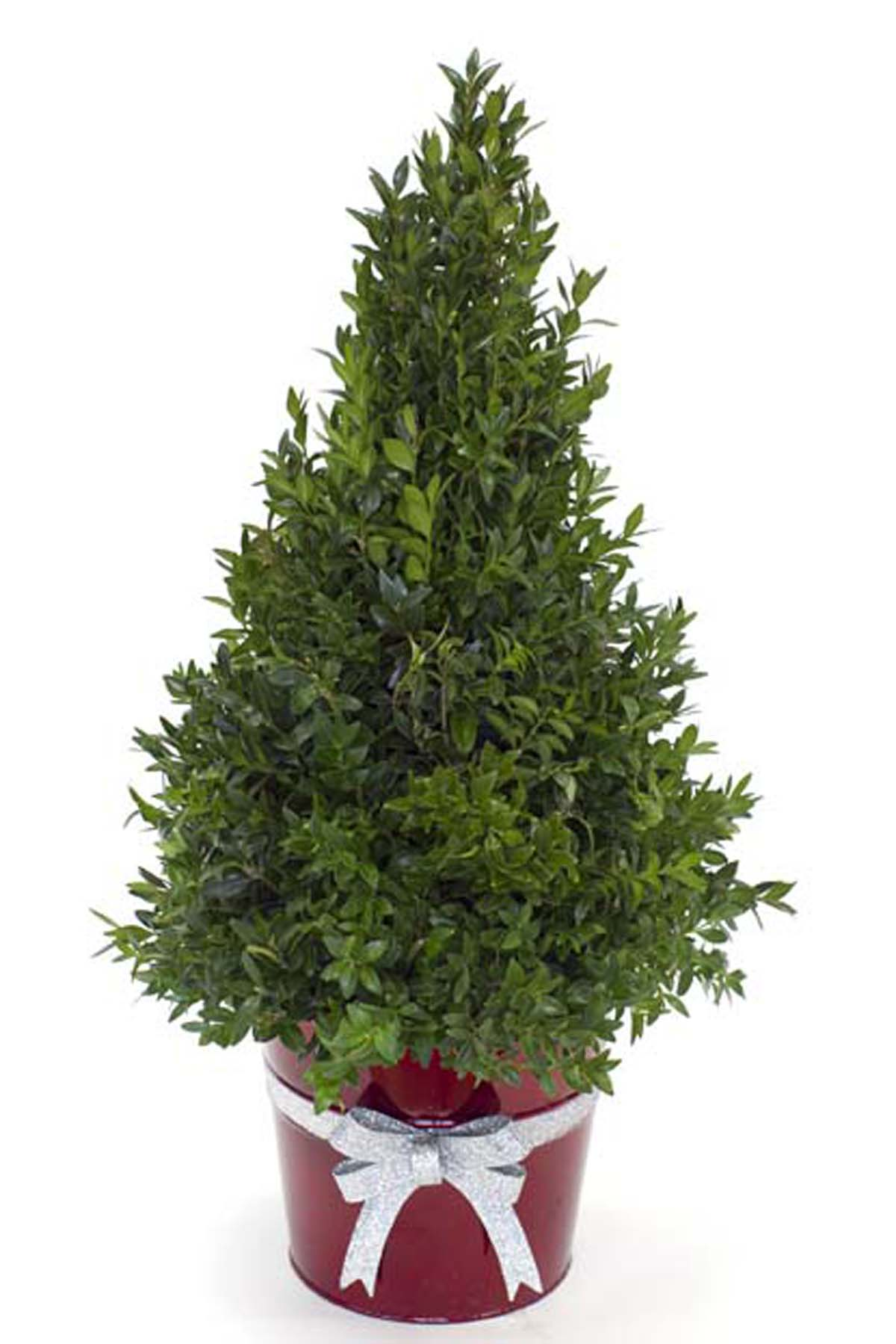 Christmas - Boxwood Tree - Columbus OH Florist - Flowerama ...