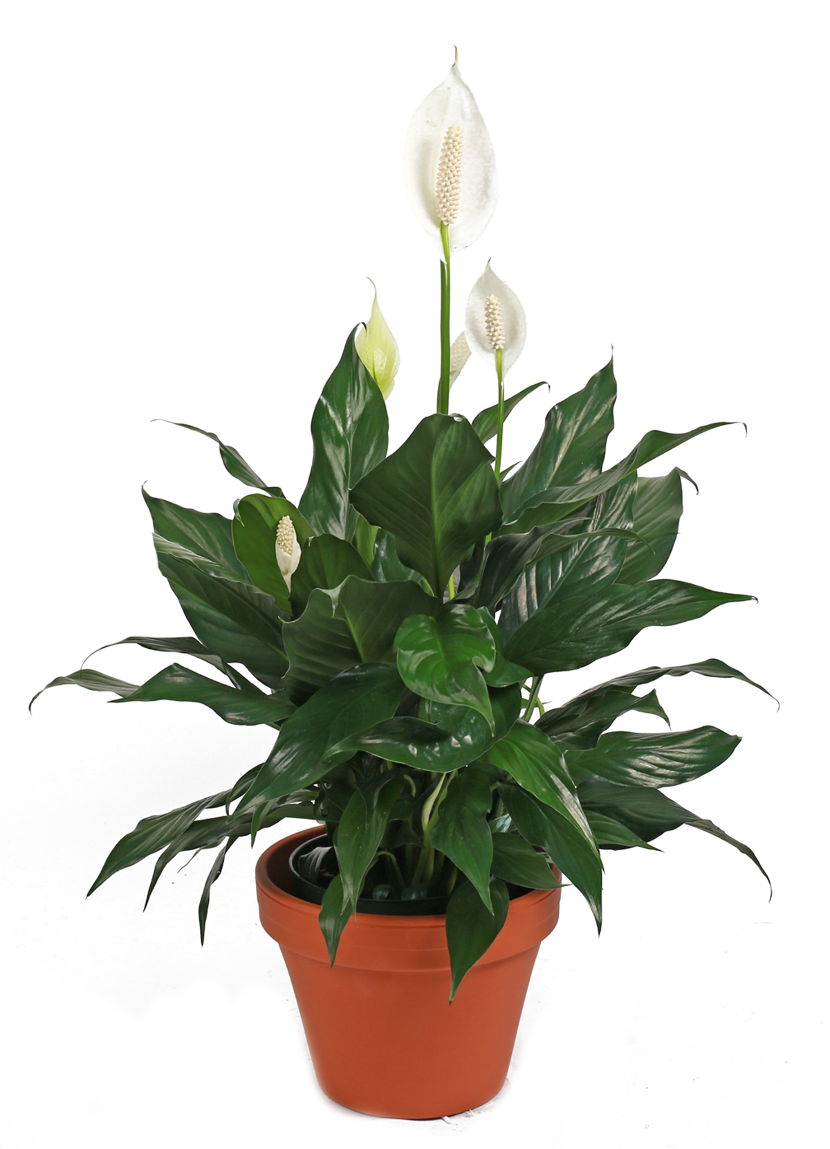 Green Plants Small Peace Lily Columbus Oh Florist Flowerama