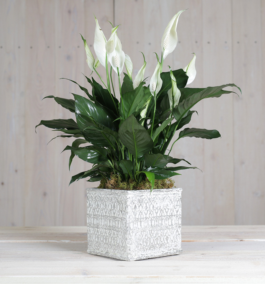 Home Charming Peace Lily In Square Deco Container Columbus Oh