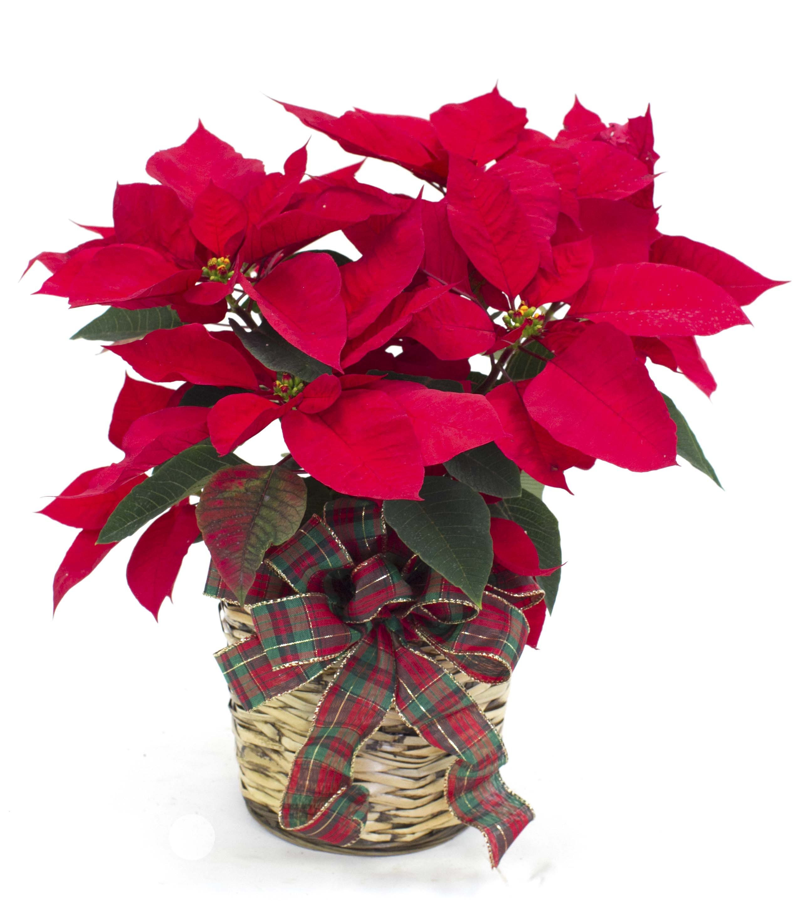 Christmas Poinsettias Beautiful Six Inch Poinsettia In A